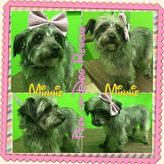 Norfolk Terrier/Yorkie, Yorkshire Terrier Mix Dog for adoption in South Gate, California - Minnie