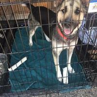 Adopt A Pet :: Jaycee - Amarillo, TX