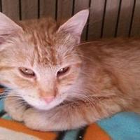 Domestic Shorthair/Domestic Shorthair Mix Cat for adoption in Waupun, Wisconsin - Pumpkin Pie