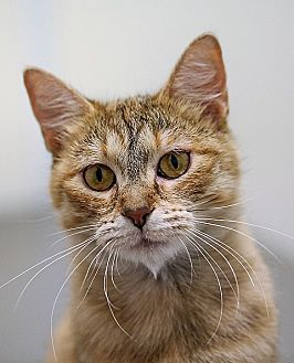 Domestic Shorthair Cat for adoption in Springfield, Illinois - Apricot