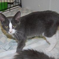 Adopt A Pet :: Faith's Kitten Christie - Brainardsville, NY