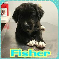 Adopt A Pet :: Fisher - Fenton, MO