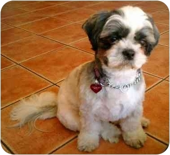 Shih Tzu Dog for adoption in Los Angeles, California - Dolly