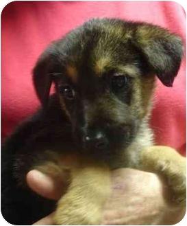 German Shepherd Dog Mix Puppy for adoption in Old Bridge, New Jersey - Echo