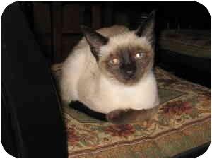 Siamese Kitten for adoption in Somerset, Kentucky - Rose