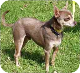 Chihuahua Dog for adoption in Osseo, Minnesota - Boaz