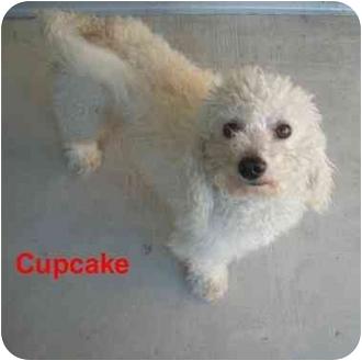 Bichon Frise Mix Dog for adoption in Slidell, Louisiana - Cupcake