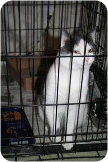 Domestic Shorthair Cat for adoption in Shenandoah, Iowa - Frisky