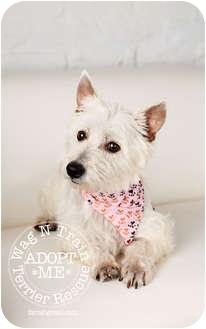 Westie, West Highland White Terrier Dog for adoption in Omaha, Nebraska - April