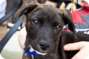 Labrador Retriever/Plott Hound Mix Puppy for adoption in Richmond, Virginia - IttyBitty