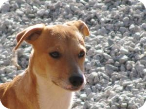 Basenji/Beagle Mix Dog for adoption in Marion, North Carolina - Heinze