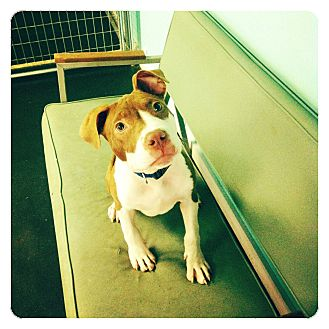 American Pit Bull Terrier Mix Puppy for adoption in Louisville, Kentucky - Carson