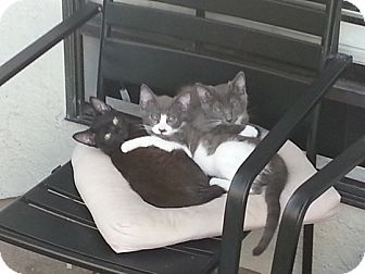 Domestic Shorthair Cat for adoption in Laguna Woods, California - Possum