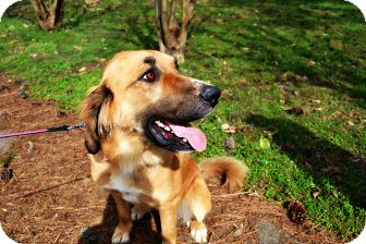 Anatolian Shepherd Mix Dog for adoption in FOSTER, Rhode Island - Apple