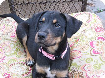Feist/Labrador Retriever Mix Puppy for adoption in Humboldt, Tennessee - May