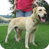 Golden Retriever/Labrador Retriever Mix Dog for adoption in New Martinsville, West Virginia - Bruin