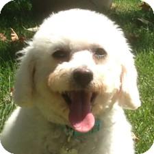 Bichon Frise Mix Dog for adoption in La Costa, California - Sophie