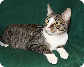 Domestic Shorthair Cat for adoption in Rochester, New York - Philip