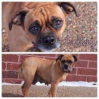 Pug/Beagle Mix Dog for adoption in Garden City, Michigan - Cadabby
