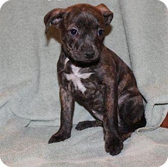 Bullmastiff/Pit Bull Terrier Mix Puppy for adoption in Houston, Texas - Pepper
