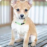 Adopt A Pet :: Felix - Hilliard, OH