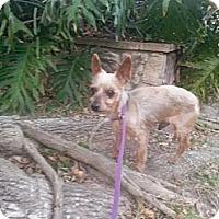 Adopt A Pet :: Captain - Sugar Land, TX