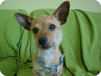 Terrier (Unknown Type, Small)/Chihuahua Mix Dog for adoption in Philadelphia, Pennsylvania - Dusty