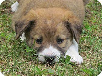 Australian Shepherd/Beagle Mix Puppy for adoption in elizabethtown, New York - jax