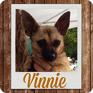 Chihuahua Mix Dog for adoption in Lubbock, Texas - Vinny