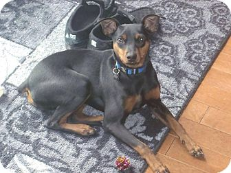 Miniature Pinscher Mix Puppy for adoption in Peterborough, Ontario - Lucky
