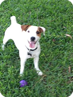 Jack Russell Terrier Puppy for adoption in Austin, Texas - Buster