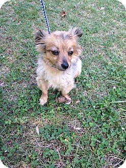 Chihuahua Mix Dog for adoption in North Brunswick, New Jersey - Peanut