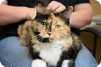 Domestic Mediumhair Cat for adoption in Germantown, Maryland - Grace