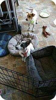 Jack Russell Terrier Puppy for adoption in Austin, Texas - Elsa & Eddy in San Antonio