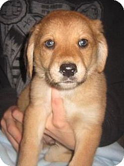 Bloodhound/Border Collie Mix Puppy for adoption in Groton, Massachusetts - Jack