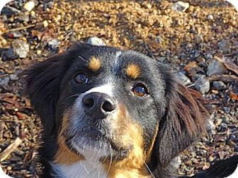 Border Collie Mix Puppy for adoption in Spring Valley, New York - Mandy