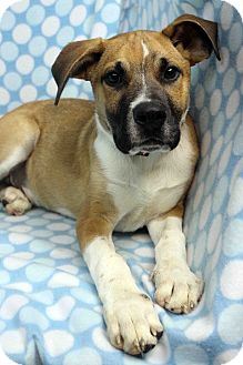 Shepherd (Unknown Type)/Boxer Mix Dog for adoption in Westminster, Colorado - Roberto