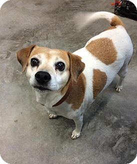 Jack Russell Terrier Mix Dog for adoption in Windham, New Hampshire - Precious