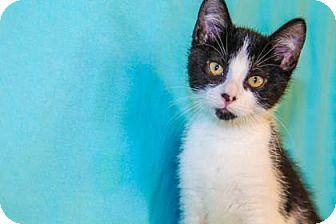 Domestic Shorthair Kitten for adoption in Larned, Kansas - Isaac
