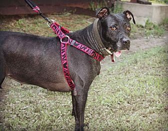 American Pit Bull Terrier Dog for adoption in Demopolis, Alabama - Houdini