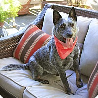 Adopt A Pet :: Pretty Phoebe - Woodland Hills, CA