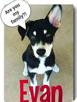 Husky/Alaskan Malamute Mix Puppy for adoption in New Smyrna Beach, Florida - Evan