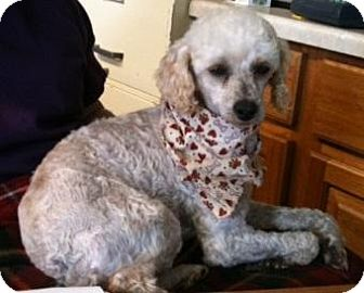 Poodle (Miniature) Dog for adoption in Point Pleasant, Pennsylvania - PIERRE-ADOPTION PENDING
