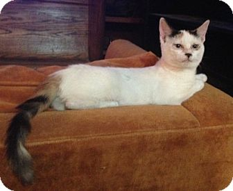 Domestic Shorthair Kitten for adoption in Houston, Texas - Vanna