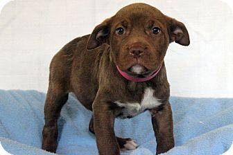 Staffordshire Bull Terrier Mix Puppy for adoption in Waldorf, Maryland - Dora