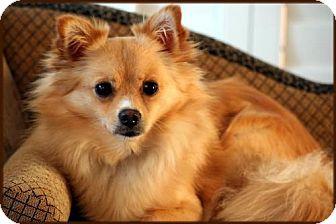Pomeranian Dog for adoption in Dallas, Texas - Tom Boy