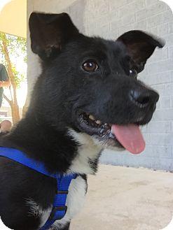Jack Russell Terrier Mix Dog for adoption in Goldsboro, North Carolina - Milo