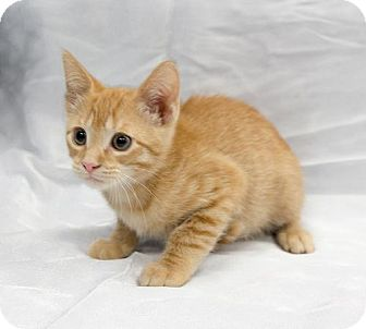 Domestic Shorthair Kitten for adoption in Tallahassee, Florida - Chandler