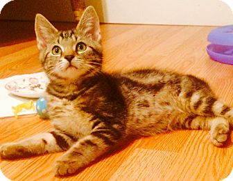 Domestic Shorthair Kitten for adoption in Marlton, New Jersey - Peaches