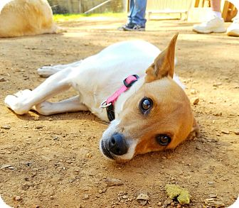 Jack Russell Terrier Mix Dog for adoption in Kendall, New York - Gigi